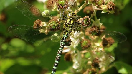 Southern Hawker at Fairhaven Woodland and Water Garden. Images taken at iwitters meet 02-07-2017. Ph