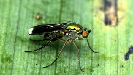 Iwitters meeting at Fairhaven: Long legged fly. Photo: Trevor Taberham