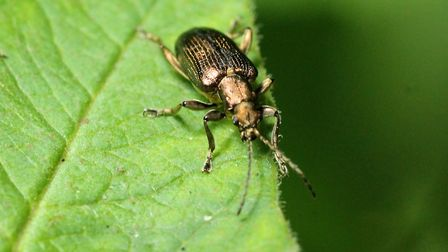 Iwitters meeting at Fairhaven: Red beetle. Photo: Trevor Taberham