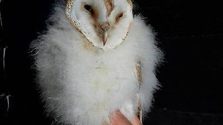 The barn owls were rescued by the RSPCA and later released in Sculthorpe nature reserve. Picture: Zo