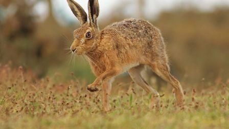 A brown hare running, on Havergate Island. Picture: Harry Read