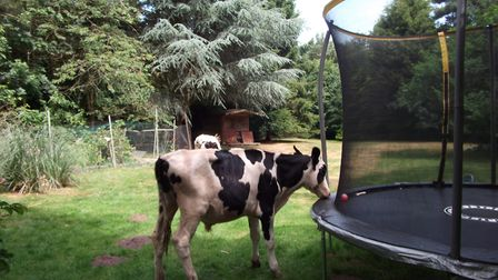 Six cows found their way into a garden in Gressenhall where they were intrigued by a trampoline and
