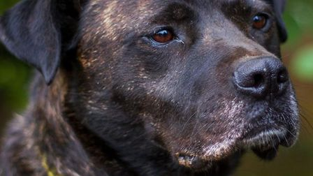 Bonnie at Dogs Trust Snetterton, who is looking for a permanent home. Picture: DOGS TRUST SNETTERTON