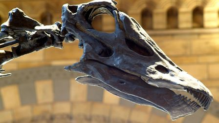 Dippy the dinosaur is visiting Norwich Cathedral in 2020. Pictured: The skull of the Diplodocus hous