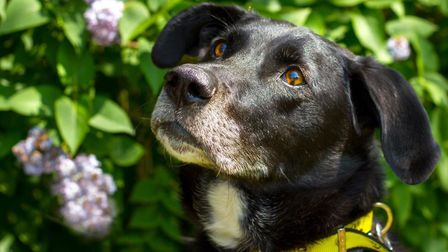Vinnie, an eight-year-old Labrador has spent 700 days in kennel at Dogs Trust Snetterton.Picture: Do