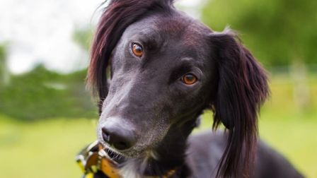 Joey is a two-year-old fun loving lurcher. Picture: Dogs Trust