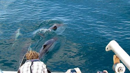 Short-beaked common dolphins along side a tourist boat during the 2016 National Whale and Dolphin Wa