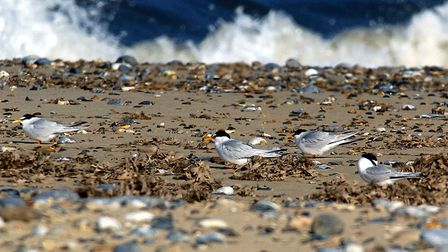 The Little Terns on Yarmouth Beach are later than in previous years with only a few pairs starting t