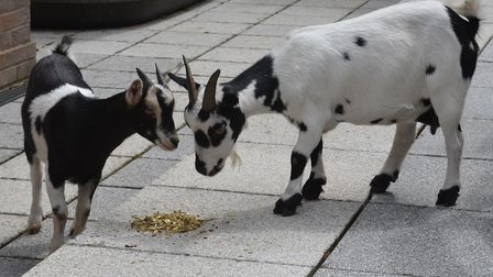 Two pygmy goats were rescued after being abandoned in a garden. Picture: courtesy of PACT Animal San