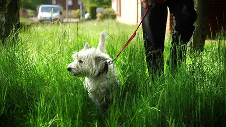 Dog walking can boost health in later life, UEA experts have discovered. Picture: ANTONY KELLY