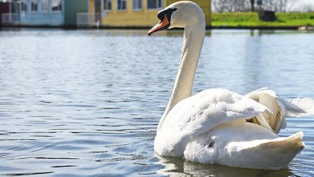 A swan on the broads.Picture: ANTONY KELLY