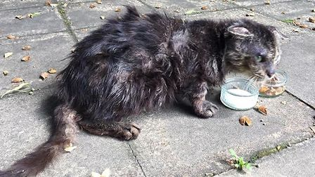 Mr Flat Ears, who was rescued by the Lost and Found Cats in Norwich Facebook group. Photo: Claire D