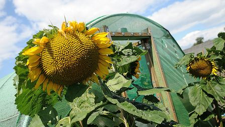 A sunflower at Hunstanton allotments. Picture: Chris Bishop