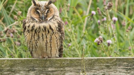 The long-eared owl photographed in the Ludham Marshes area. Picture: Brian Shreeve