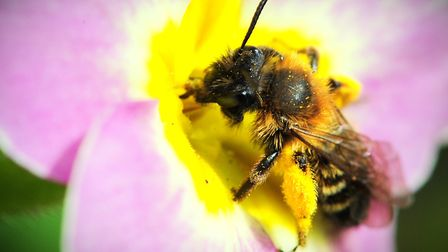 Free bee-friendly flowers will be available to people in Broadland next month as part of a scheme to