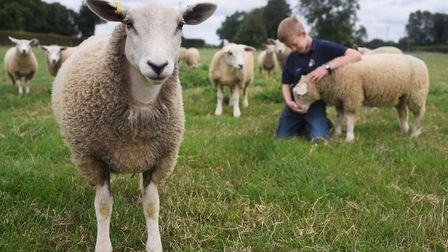 A curious sheep, one of 11-year-old Tom Alexander's Texel cross flock at his home at Pulham Market.