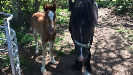 Foal and pony which were left on Barnham Cross Common, Thetford, in May. Picture: Rebecca Murphy