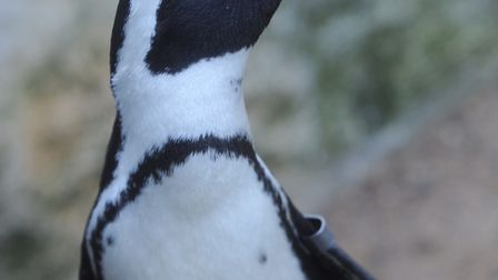 Don't forget to meet the penguins at Banham Zoo. Picture: Gregg Brown.