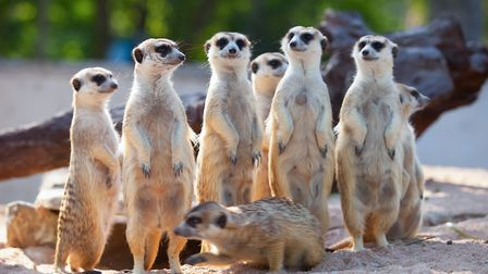 Meerkats are so much fun to watch! Don't miss seeing them at Pettitts Animal Adventure Park in Reedh