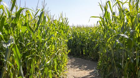 Try not to get lost in a maize maze this summer. Picture: Thinkstock.