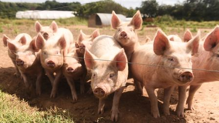 Just some of the pigs at Jimmy's Farm. Picture: Lucy Taylor.