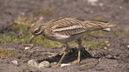 A stone curlew. Photo: Ben Andrew/RSPBimages.com