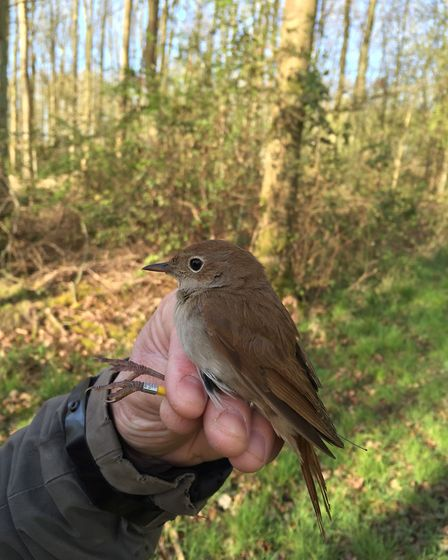 Nightingale fitted with GPS tag at Alton Water Reservoir. Picture: Anglian Water
