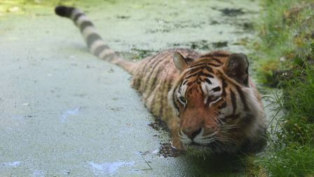 One of the tigers at Banham Zoo takes a swim in a pool in his enclosure. Picture: DENISE BRADLEY