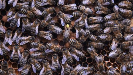 Beekeeper Simon Greenwood's bees, including the queen, marked with a yellow dot, he still has left a