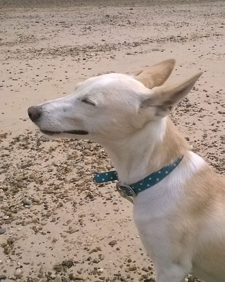 Ziggy, who was adopted from a 'kill shelter' in Spain and has just become a PAT (pets as therapy) do