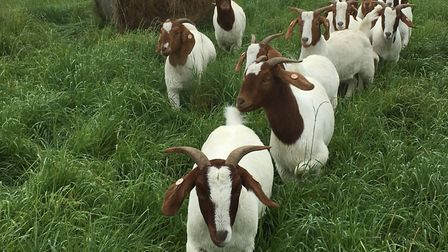 A flock of 11 missing goats have been found in a field near Swaffham. Picture: Lucy Ostin