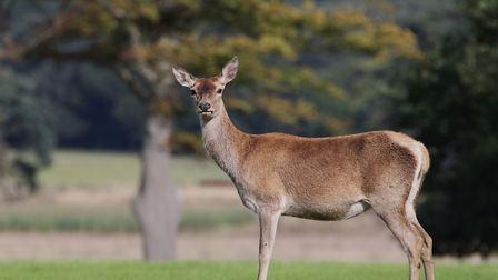 A deer safari and a deer photography workshop will be taking place at Holkham Hall next week. Pictur