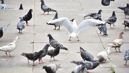 A council is trying to reduce the number of seagulls. Picture : ANTONY KELLY
