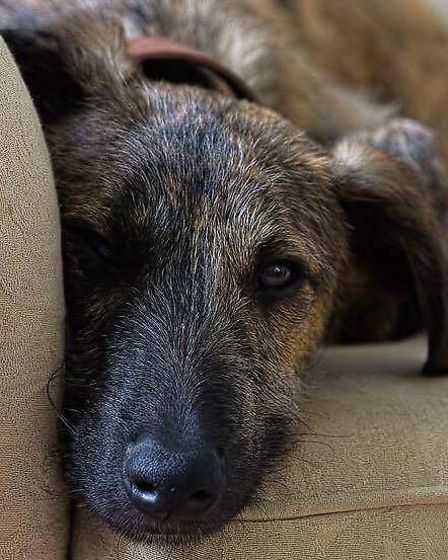 Wesley, the missing lurcher. Picture: Pam Carpenter