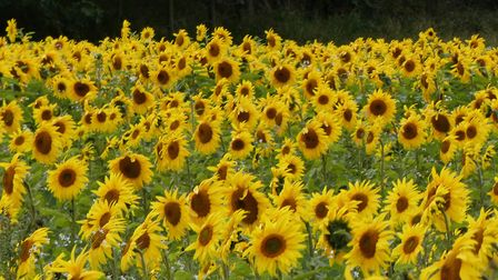 This field of Sunflowers at Morston looking stunnig in the sunshine. Picture: Martin Sizeland