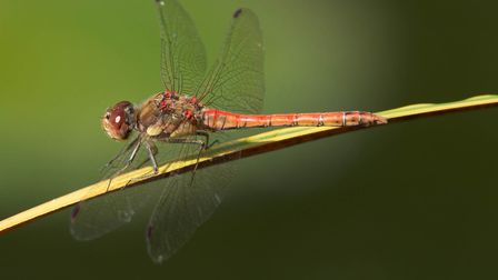 This common darter dragonfly was seen resting on the iris leaves on the garden pond. Picture: Brian