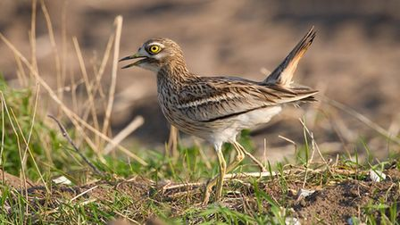 Breckland is a stronghold for the stone curlew. Picture: Chris Knights / RSPB Images.