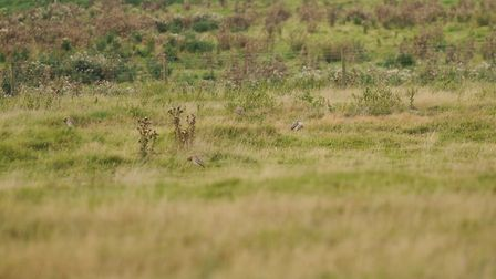 Can you spot the four stone-curlews in this photo at Cavenham Heath? Picture: Ian Burt