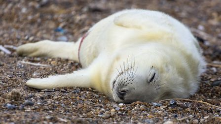 The first seal pup of the season at Blakeney Point. Picture: Ian Ward