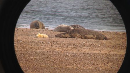 The first seal pup of the season at Blakeney Point. Picture: Ajay Tegala