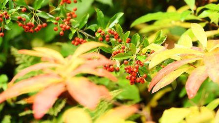 Berries and leaves on a beautiful autumn morning at Fairhaven Woodland and Water Gardens. Photo: Jam