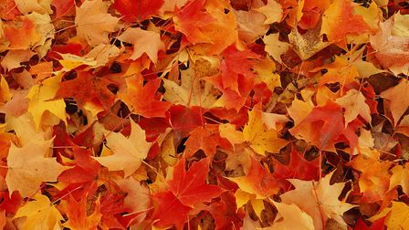 Autumn leaves in glorious colours are a glorious sight before the on-set of bare woodland winter. Ph