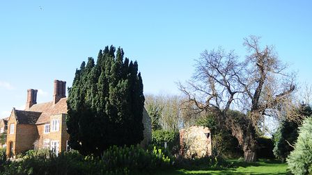 The mulberry tree in the grounds of Heacham Manor (far right of building) which is believed to have