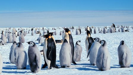 Emperor penguins will be the focus of an upcoming lecture in Bunwell. Picture: Michael Van Woert