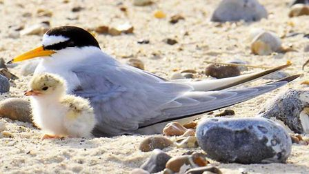 Little terns, one of the UK's rarest seabirds, had a successful breeding season along the east Norfo