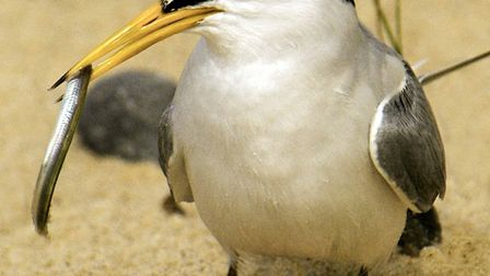 A little tern with a sand eel. Picture: Kevin Simmonds