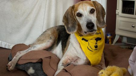 Benji at Dogs Trust Snetterton, who is looking for a new home. Picture: DOGS TRUST SNETTERTON
