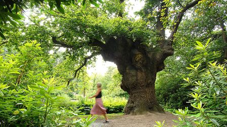The King's Oak at Fairhaven Woodland and Water Garden which has recovered at the Great Storm of 1987