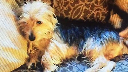 Keegan a tan and black Yorkshire terrier cross has been missing since October 15. Pictured with a lo