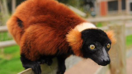 Lemur Day is being celebrated at Banham Zoo.r. Picture: DENISE BRADLEY